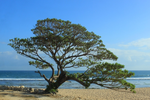 Pohon Duras Pok Tunggal